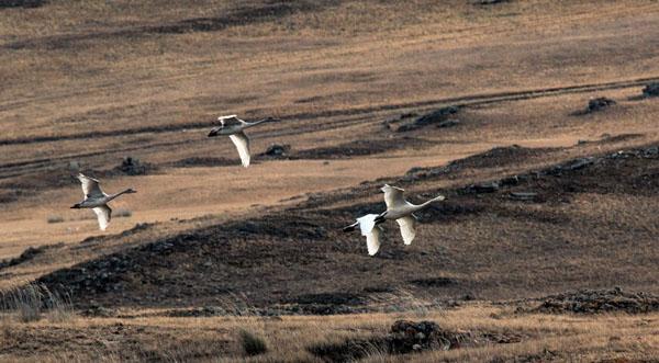 В Иркутской области проходит миграция краснокнижных лебедей
