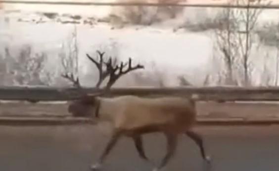 В Иркутске из передвижного зоопарка сбежал северный олень