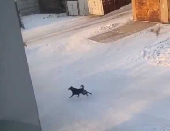 Бродячие собаки искусали улан-удэнца