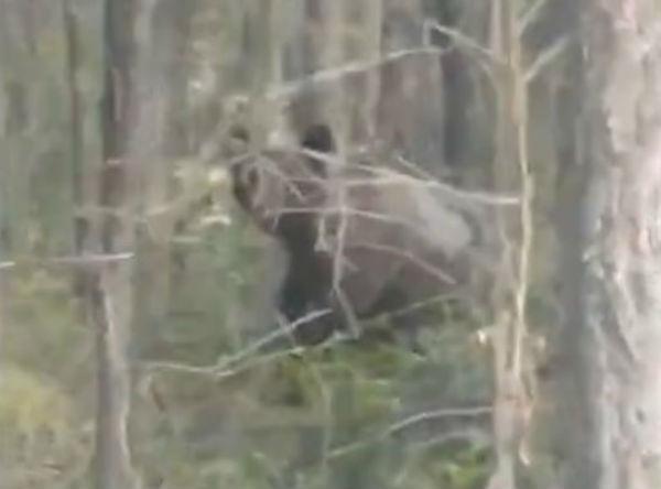 «Миха! Михалыч!»: В Бурятии лесники встречают медведей