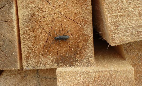 В партии пиломатериалов в Бурятии нашли жуков-вредителей