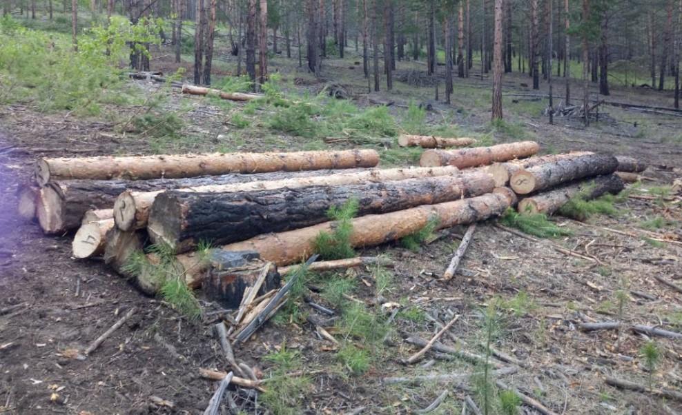В Бурятии лесники устроили засаду на «чёрного» лесоруба
