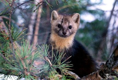 ТОП-5 популярнейших у браконьеров животных Бурятии
