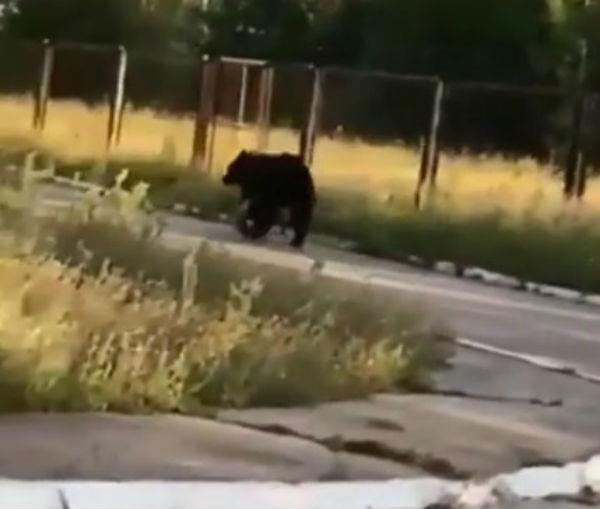 По улицам посёлка в Бурятии разгуливал медведь