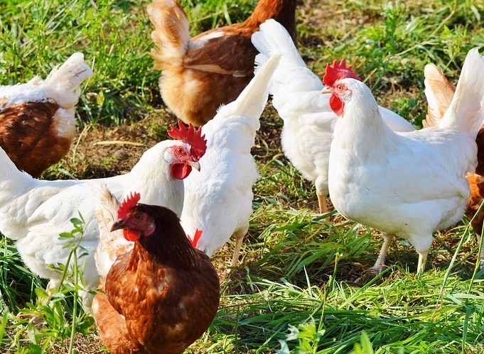 Фонд развития Дальнего Востока поможет Бурятии с птицефабрикой