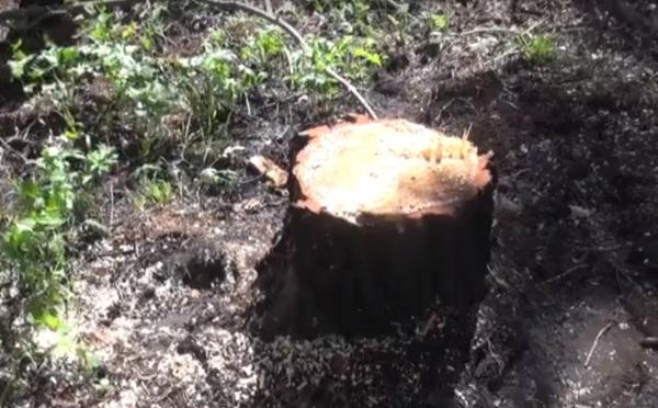 Житель Бурятии пилил деревья возле своего села
