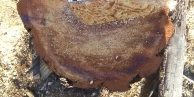 В Бурятии 23-летний парень незаконно рубил лес