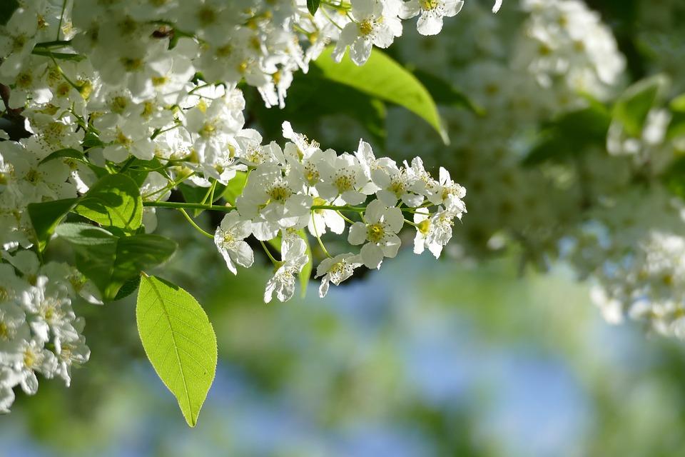 картинки бурятия цветение черемухи ней вопросы