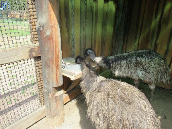 В Бурятии на страусиной ферме дождались первых птенцов австралийских эму
