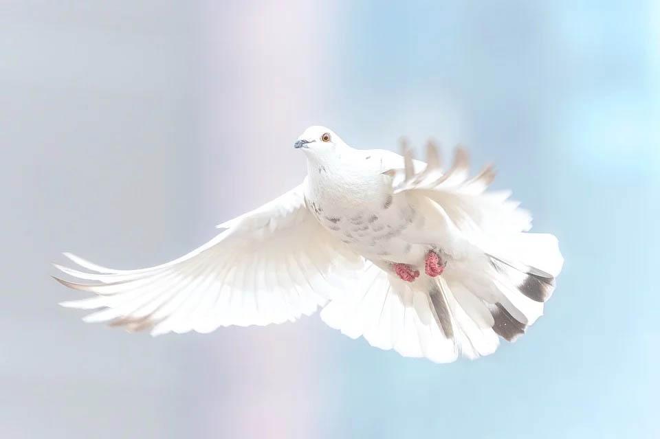 Голубеводы Бурятии примут участие в выставке в Иркутске