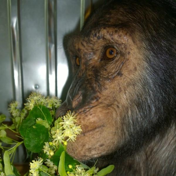 В Иркутской зоогалерее отмечают день рождения обезьяны Леи