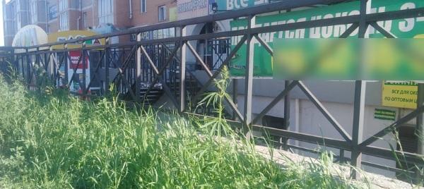 В Улан-Удэ на газоне выросла конопля