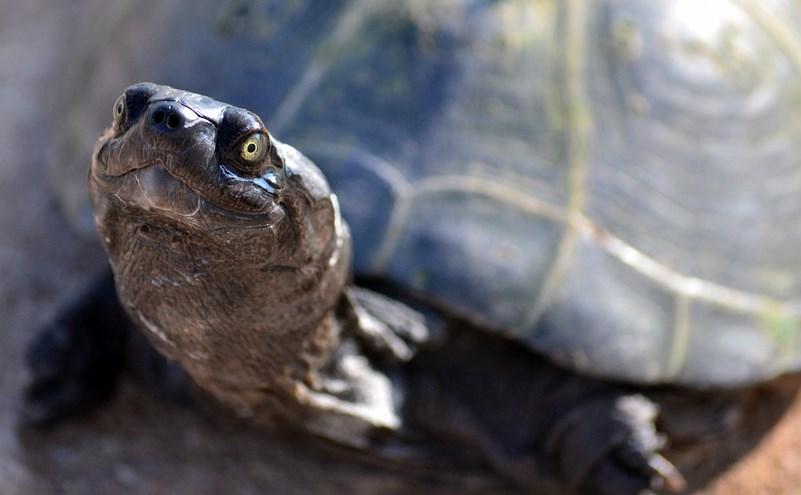 Читинец незаконно продавал 50 черепах