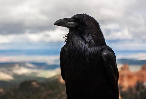 В центре Улан-Удэ ворона держит в страхе целую улицу