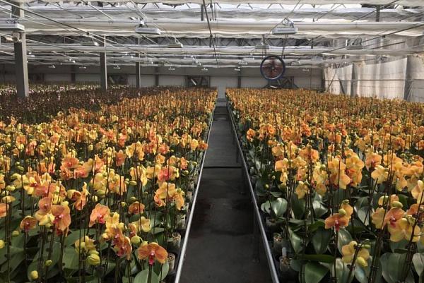 Орхидеи из Бурятии вышли на рынки Красноярска и Новосибирска